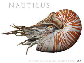 Nautilus 8cm - Hollow in White Acrylic