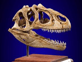 Allosaurus - dinosaur skull replica in White Natural Versatile Plastic: 1:12