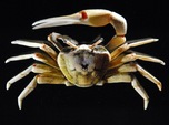 Articulated Fiddler Crab (Uca pugilator)