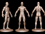 Idealized Male Ecorche Detailed - V2
