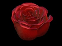 Rose in Bloom in Red Strong & Flexible Polished