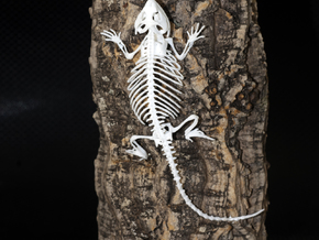 Bearded Dragon Skeleton - 7 Inches in White Strong & Flexible