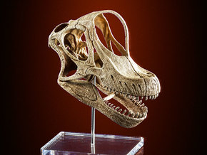Giraffatitan - dinosaur skull replica in White Strong & Flexible: 1:12