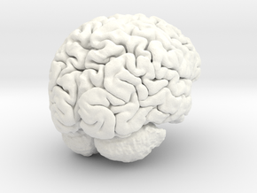 Adult Male Human Brain 40% Scale in White Processed Versatile Plastic