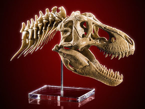 Tyrannosaurus - dinosaur skull and neck vertebrae in White Natural Versatile Plastic: 1:20