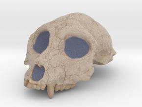 Aegyptopithecus zeuxis Cranium (1:1 Scale) in Natural Full Color Sandstone