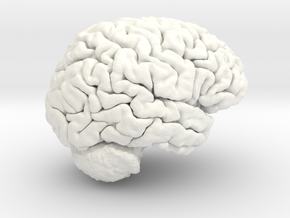 Life Size Young Adult Male Brain in White Processed Versatile Plastic