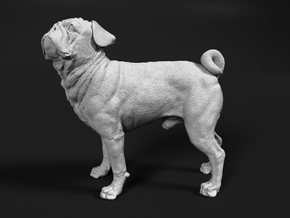 Pug 1:1 Standing Male in White Natural Versatile Plastic