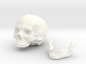 Anatomical Human Male Skull in White Processed Versatile Plastic: Small