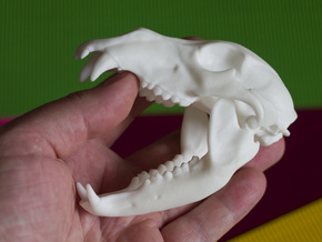 Bear Skull. Jointed Jaw. 10cm in White Strong & Flexible Polished