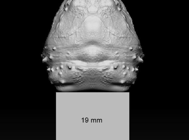 Alligator_snapping_turtle_head_03_19mm_back_edge in Smoothest Fine Detail Plastic