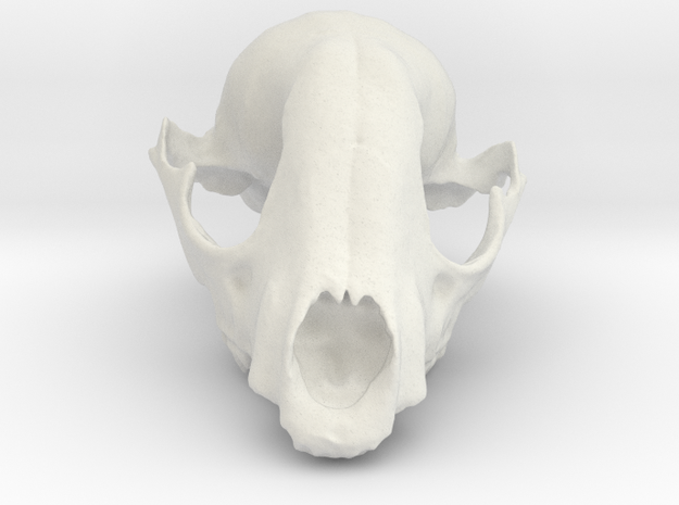 Bobcat Skull in White Natural Versatile Plastic