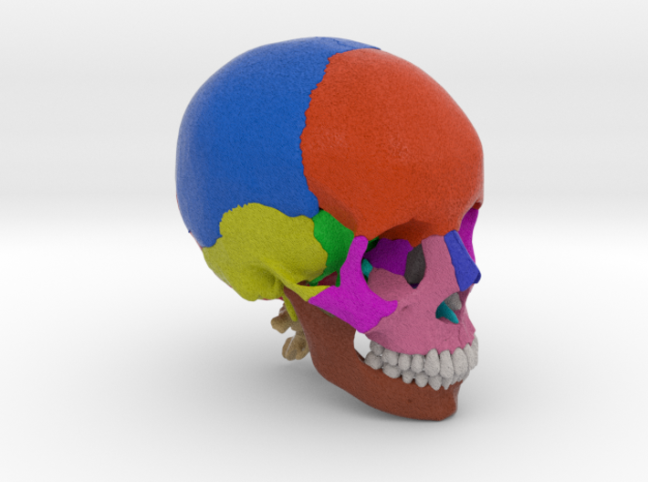 Human skull with colored bone - 1/2 life size 3d printed
