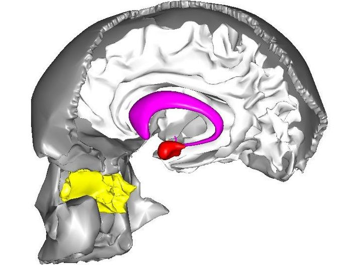 Emotion Control Center 3d printed The amygdala (in red) deep inside the brain