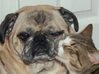 Affectionate Cat Kisses Aloof Pug 3d printed